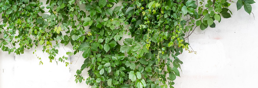 plantes grimpantes pour habiller vos murs